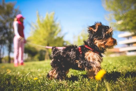cute-yorkshire-puppy-picjumbo-com